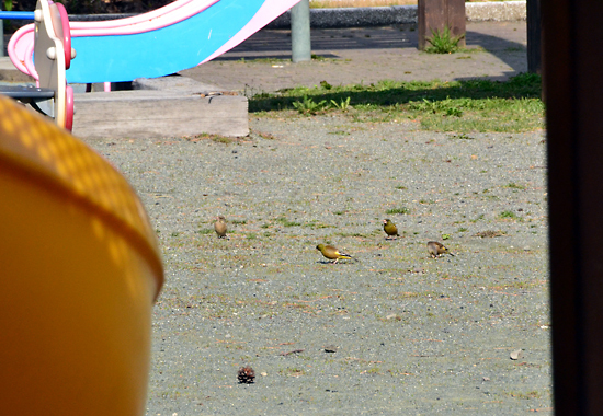 150425ひだまり公園カワラヒワ-00011.jpg