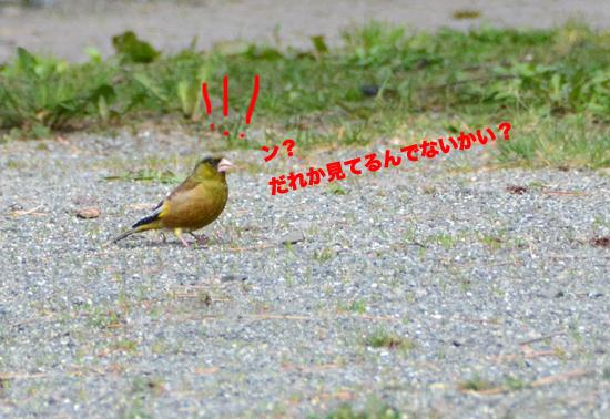 150425ひだまり公園カワラヒワ-00044.jpg