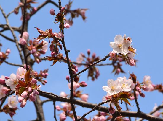 150425ひだまり公園桜002.jpg