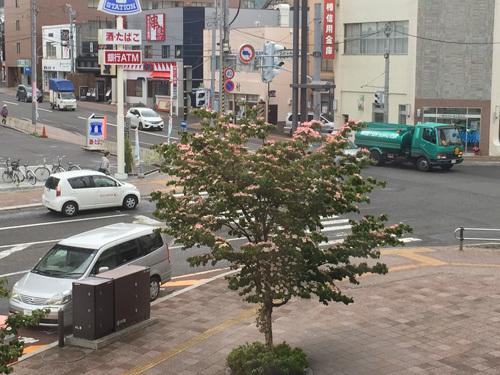 150630手稲駅ヤマボウシ002.jpg