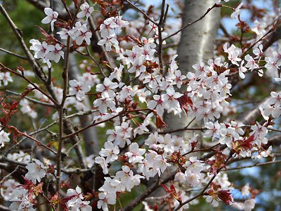 160501桜1.jpg