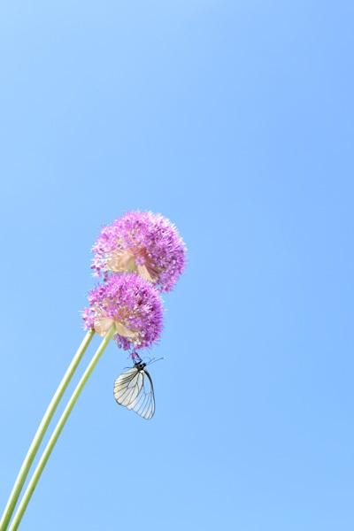 160629蝶とギガンチウム01.jpg