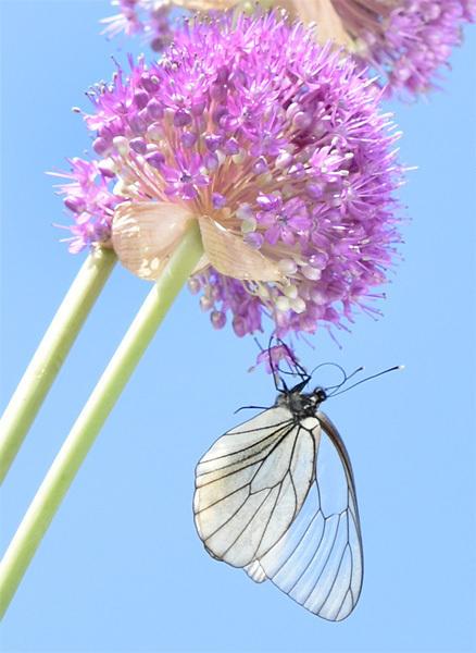 160629蝶とギガンチウム03.jpg