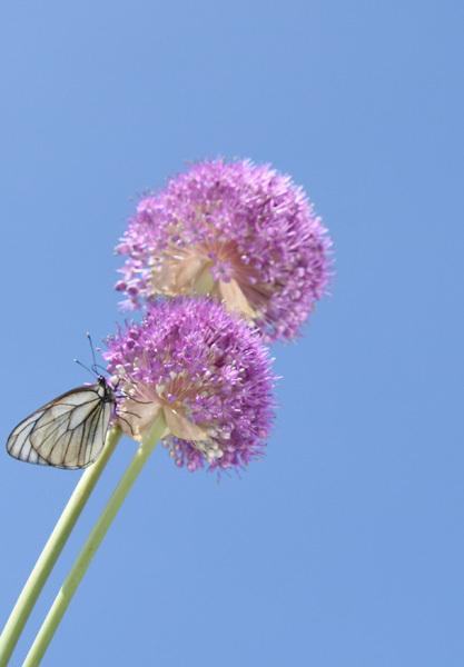 160629蝶とギガンチウム04.jpg