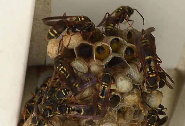 160827蜂の巣003.jpg